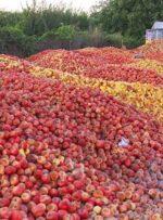 ۴٠٠ هزار تن سیب صنعتی روی دست کشاورزان آذربایجان غربی و شرقی ماند!